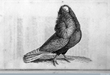 L0027757 A treatise on domestic pigeons...John Moore, 1765.
