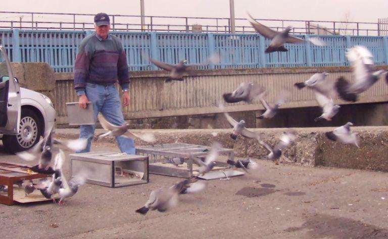 Clontarf_Pigeon_Club_Racing_Pigeons