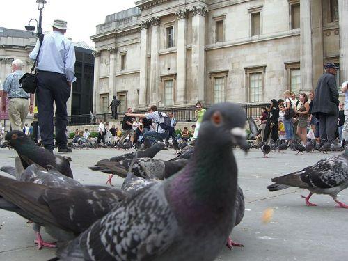 Pigeons_and_People,_Trafalgar_Square_-_panoramio