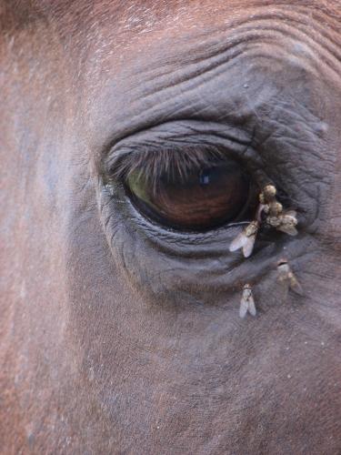 Horse_eye_flies